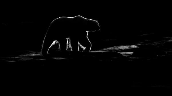 Poar bear on Kvitøya