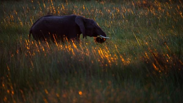 Elephant at dusk
