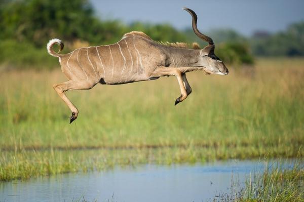 Flying Kudu