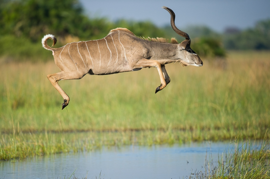Flying Kudu