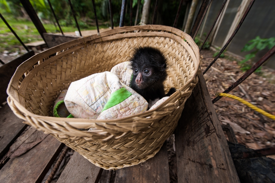 Rescued Spider monkey