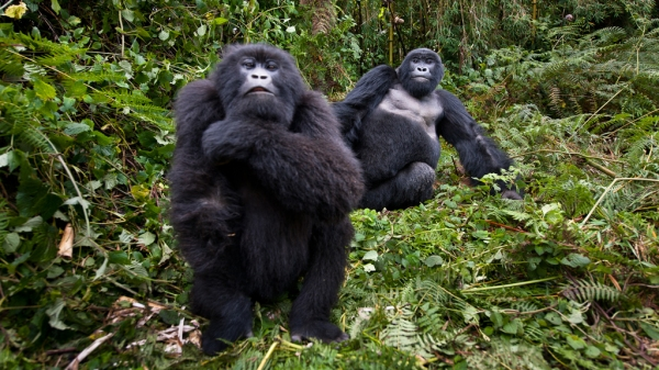 Silverback and his wife