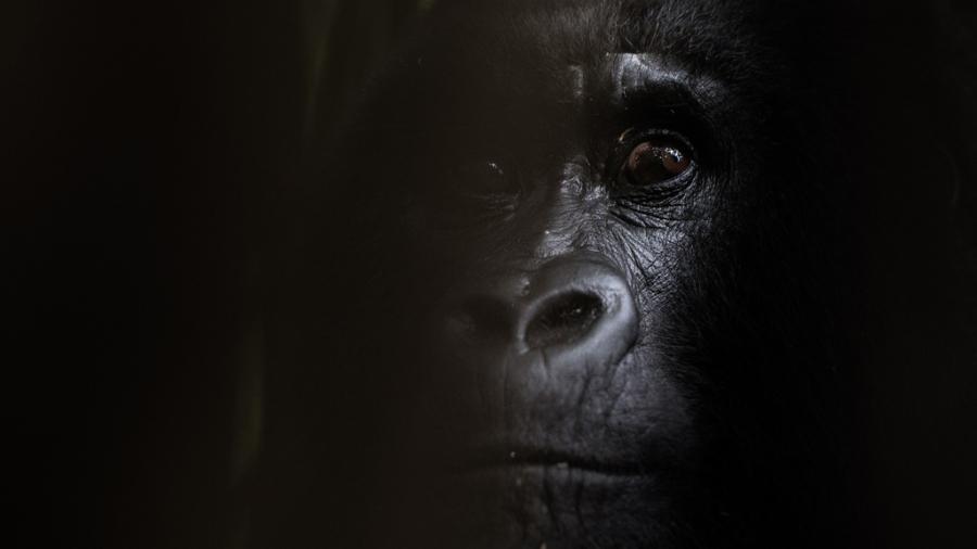 Drømmebildet_gorilla