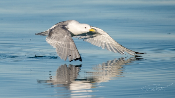 Kittiwake take-off - Nikon D4s, 200-500mm @ 500mm, 1/2000sec, f/7,1 and ISO 400