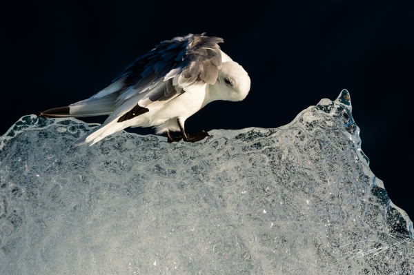 Kittiwake preening on ice Polar bear on a seal kill - Nikon D4s, 200-500mm @ 500mm, 1/2000sec, f/8 and ISO 800 Polar bear with seal kill in the ice - Nikon D4s, 200-500mm @ 200mm, 1/2000sec, f/8 and ISO 1000 Kittiwakes in the landscape - Nikon D4s, 200-500mm @ 200mm, 1/1600sec, f/6,3 and ISO 1250 Kittiwakes on a small piece of ice - Nikon D4s, 200-500mm @ 300mm, 1/2000sec, f/7,1 and ISO 400