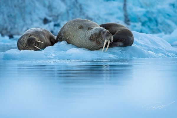 Walrus in the ice -  - Nikon D4s, 200-500mm @ 340mm, 1/1600sec, f/5,6 and ISO 1250