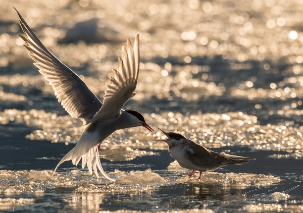 Arctic tern feeding the chick - Nikon D4s, 200-500mm @ 370mm, 1/6400sec, f/7,1 and ISO 1250