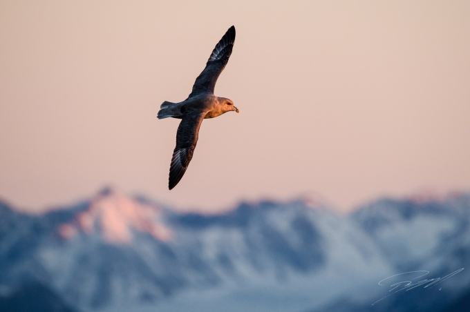 Northern Fulmar against the Spitsbergen mountains in evening light - Nikon D4s, 200-500mm @ 500mm, 1/640sec, f/7,1 and ISO 1250