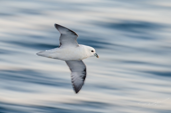 Northern Fulmar in flight - Nikon D4s, 200-500mm @ 400mm, 1/40sec, f/7,1 and ISO 400