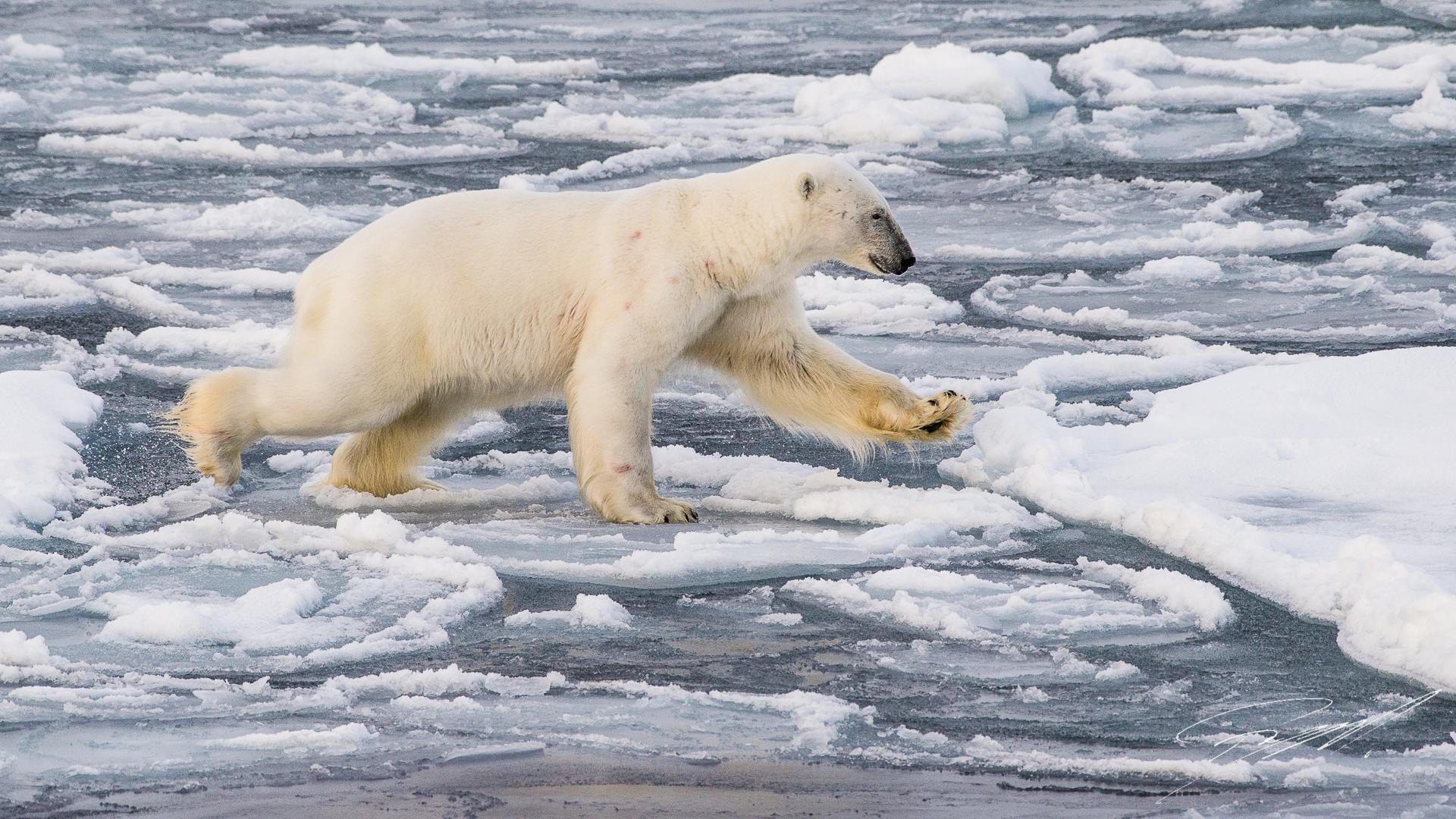 91af7c330b81 Polar bear north of Svalbard - Nikon D4s