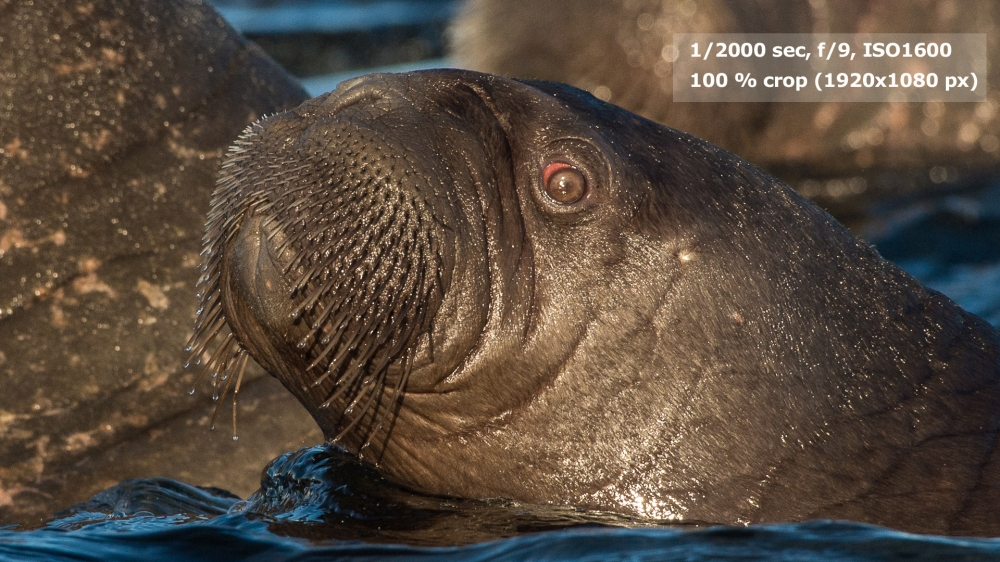 Baby Walrus - 100 % crop to 1920 px.