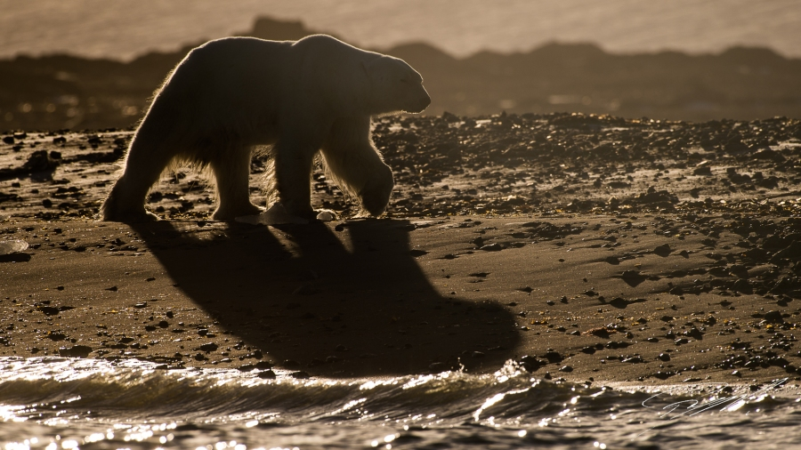 Backlit Polar bear walking on the beach - Nikon D4s, 200-500mm @ 460mm, 1/2000sec, f/8 and ISO 125