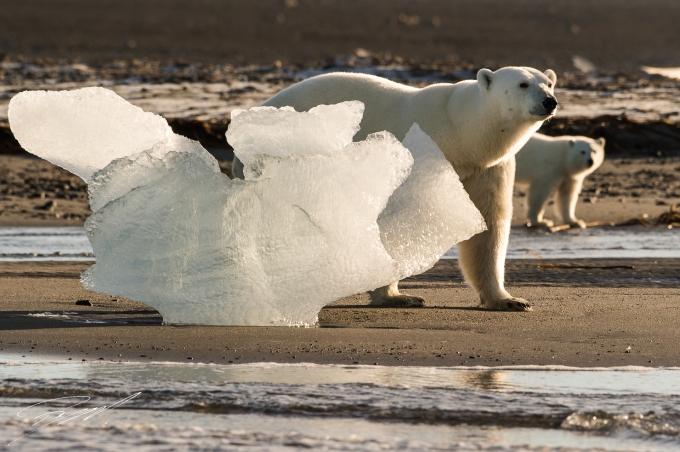 Polar bear mum and cub - Nikon D4s, 200-500mm @ 330mm, 1/2000sec, f/8 and ISO 800